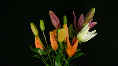 Time-lapse of opening colorful lily bouquet 1 Footage