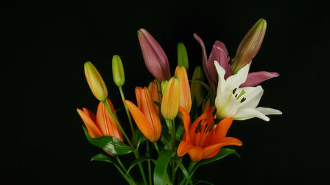 Time-lapse of opening colorful lily bouquet 1 Stock Video Footage