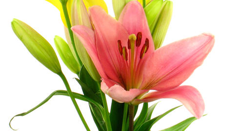 Time-lapse of opening colorful lily bouquet isolated on... Stock Video Footage