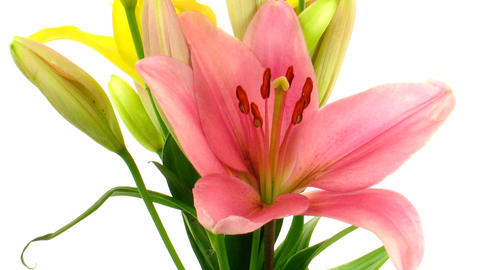 Time-lapse of opening colorful lily bouquet isolated on white 3 Footage