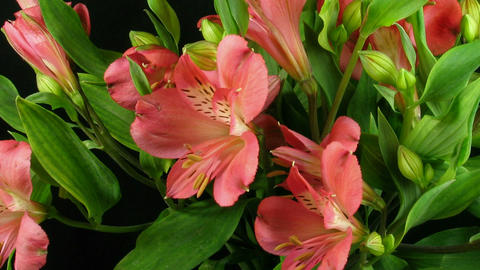 Time-lapse of opening pink peruvian lilies 2 Stock Video Footage