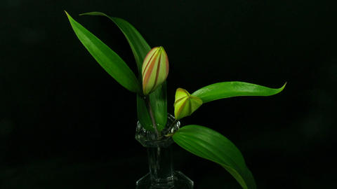 Time-lapse of opening pink lilies 4 Stock Video Footage