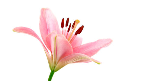Time-lapse of opening pink lily 8b isolated on white Footage