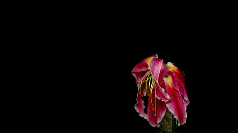 Time-lapse of dying pink lily 2 Stock Video Footage