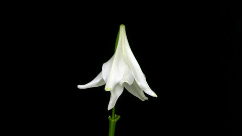Time-lapse of white Easter lily fading Stock Video Footage