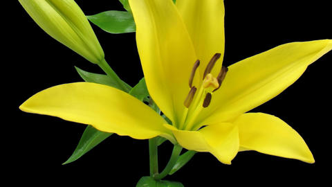 Time-lapse of yellow lily opening 4 isolated on black Footage