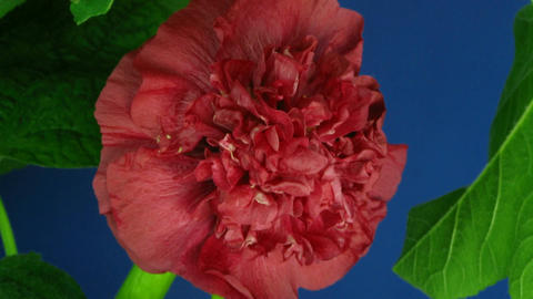 Time-lapse of blooming red filled mallow flower 2 Stock Video Footage