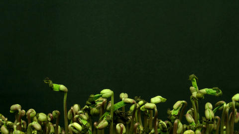 Time-lapse of growing mung beans 2 Stock Video Footage