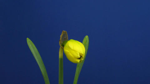 Time-lapse of yellow narcissus flower opening 2 Stock Video Footage