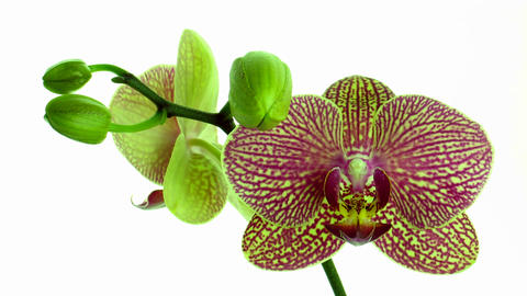 Time-lapse of opening mottled orchid 2 Stock Video Footage
