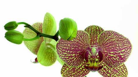 Time-lapse of opening mottled orchid 2 Footage