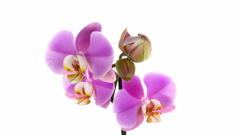 Time-lapse of opening purple orchid 2 Stock Video Footage