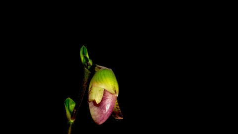 Time-lapse of opening purple Moccasin orchid isolated on... Stock Video Footage