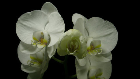 Time-lapse of white orchid opening 2 Stock Video Footage
