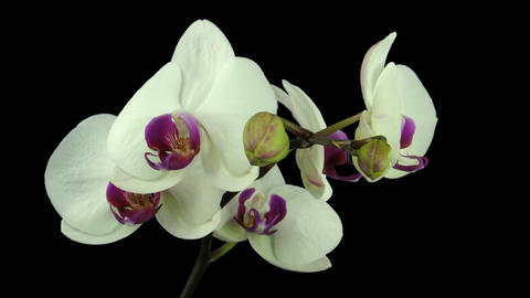 Time-lapse of white orchid opening 8 isolated on black Stock Video Footage