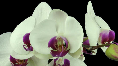Time-lapse of white orchid opening 8 isolated on black Footage