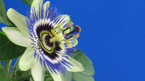 Time-lapse of opening and closing passiflora 3a against... Stock Video Footage