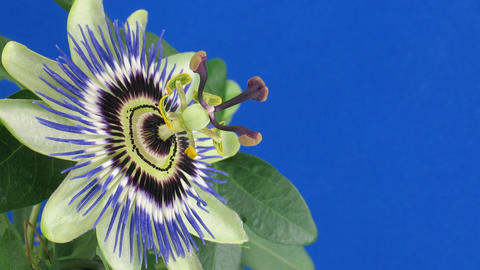 Time-lapse of opening and closing passiflora 3a against blue background Footage