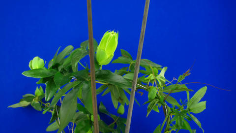 Time-lapse of growing passiflora tendrils 6 against blue... Stock Video Footage