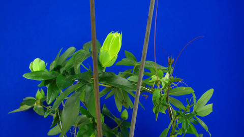 Time-lapse of growing passiflora tendrils 6 against blue background Footage