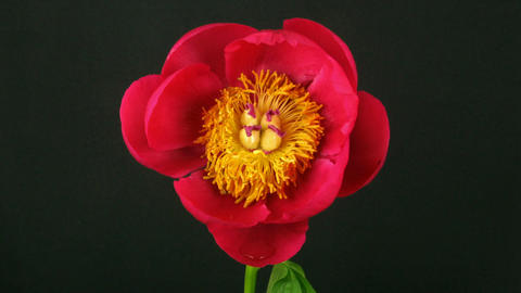 Time-lapse of opening red peony 1 Stock Video Footage