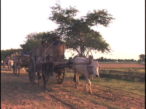 Oxen pull carts down a dirt road Stock Video Footage