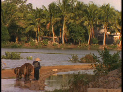 Vietnamese peasant farmer walk in fields with water buffalo Stock Video Footage