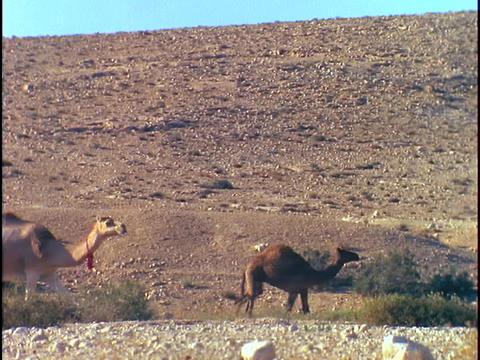 A long line of camels walks through a desert Stock Video Footage
