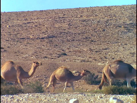A long line of camels walks through a desert Stock Video Footage
