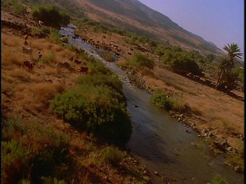 Cattle graze near a river Stock Video Footage