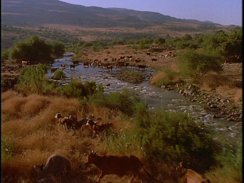 Cattle graze near a river Stock Video Footage