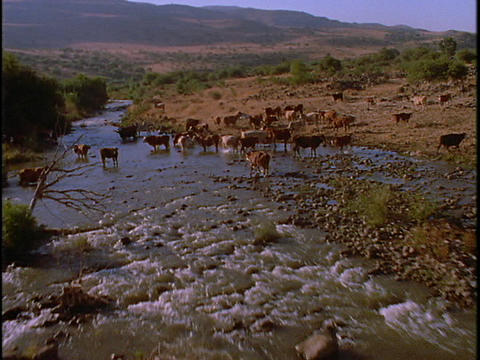Cattle graze near a river Footage