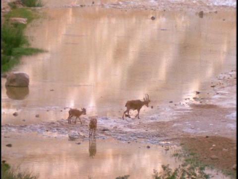 Ibex mountain goats walk near a lake Stock Video Footage