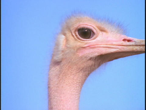An ostrich cautiously observes his surroundings Stock Video Footage