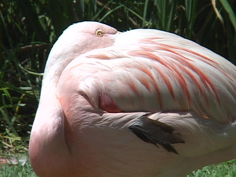 A flamingo sleeps with its head tucked under his wing Footage