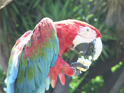 A parrot eats from his claw Stock Video Footage