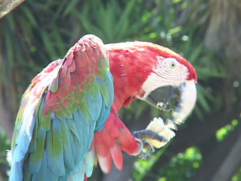 A parrot eats from his claw Footage