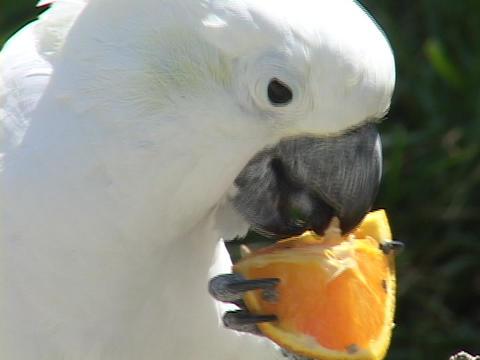 A cockatoo eats an orange Stock Video Footage