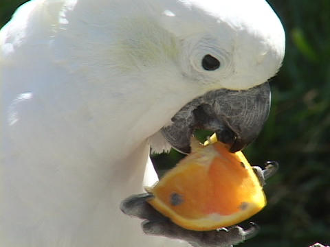 A cockatoo eats an orange Footage