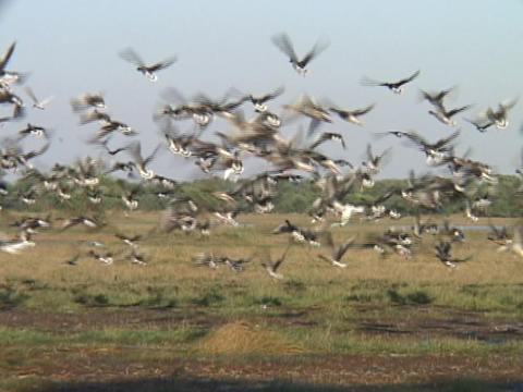 A large flock of birds flies from wetlands at Bharatpur National Park Footage