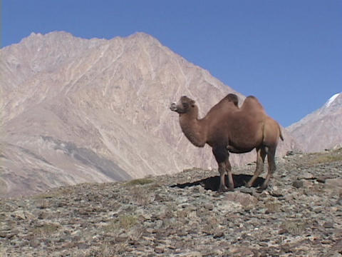 A Bactrian camel stands in the Himalayas Footage