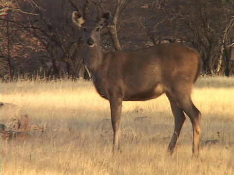 A deer stands attentive in a golden field Stock Video Footage