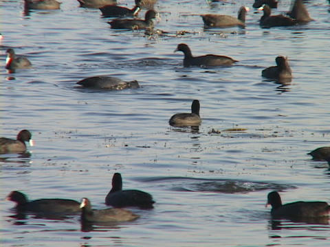 Ducks swim and dive on a lake Stock Video Footage