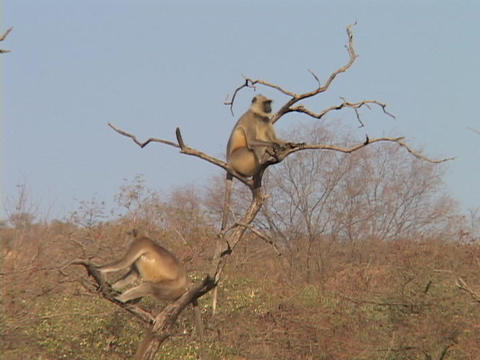Ringtail monkeys relax in a desert tree Stock Video Footage