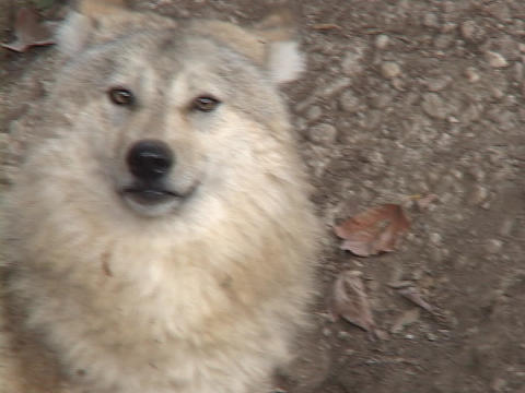 A white wolf sniffs the air Stock Video Footage