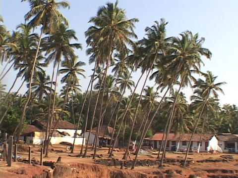 Palm trees grow near an Indian village Stock Video Footage