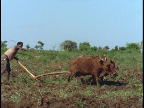 An African farmer plows a field Stock Video Footage