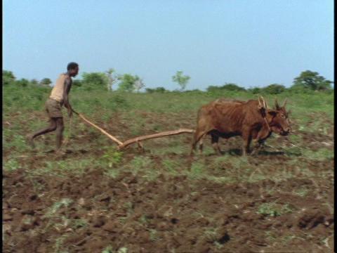 An African farmer plows a field Stock Video Footage