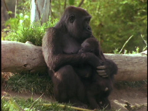 A mountain gorilla holds her baby Stock Video Footage