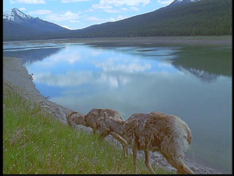Mountain goats walk near a lake in the Canadian Rockies Stock Video Footage